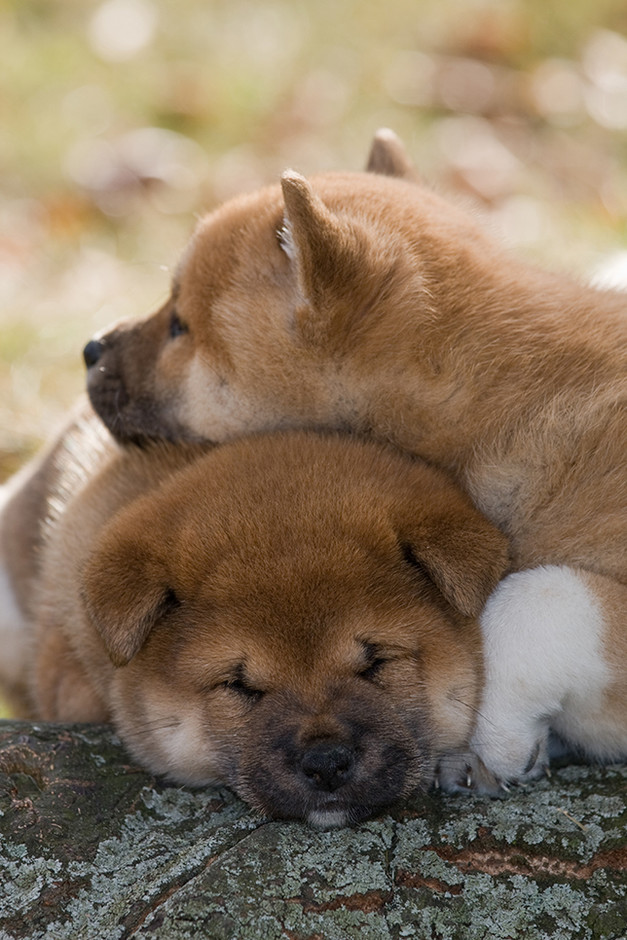 All hail the cult status of the Shiba Inu | MNN - Mother Nature Network