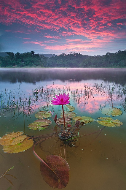 Lotus and Sunset | A1 Pictures
