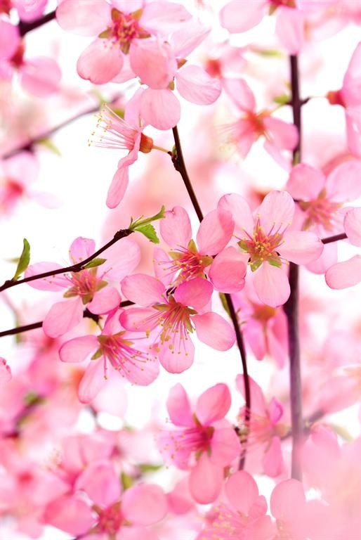 Pink Dogwood Blooms | flowers