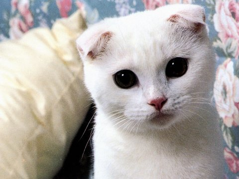 White Scottish Fold Lovely Wallpapers,Scottish Fold Wallpapers & Pictures Free Download