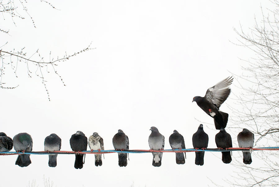 Row Of Pigeons On Wire Photograph by Ernest McLeod - Row Of Pigeons On Wire Fine Art Prints and Posters for Sale