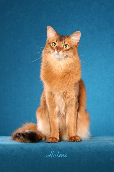 Somali Cat | Pictures of Cats