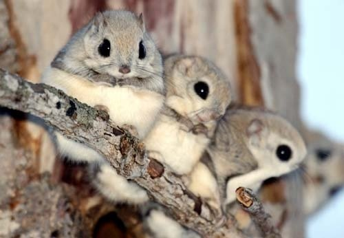Pinterest / Search results for momonga