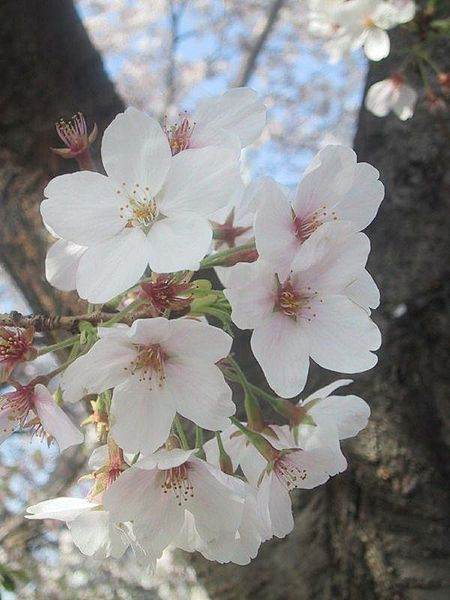 ファイル:Cherry blossoms.jpg - Wikipedia