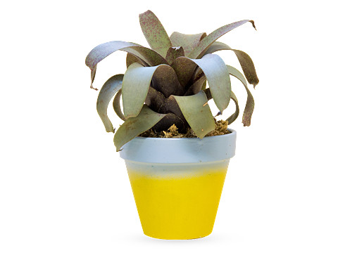 YELLOW HAMMER 植物 4.5号鉢 (YELLOW HAMMER Plant) | Online Shop | NOTEWORKS