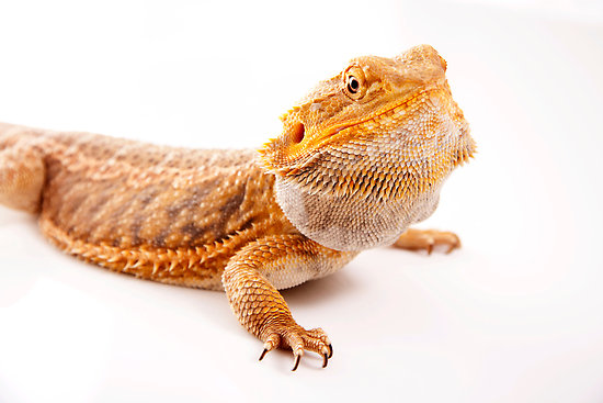 """Central Bearded Dragon - Pogona vitticeps"" by Tim Miller 