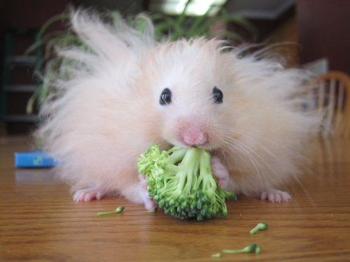 A hamster eating a piece of broccoli. | adorable animals