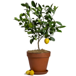 lemon tree - Google 画像検索