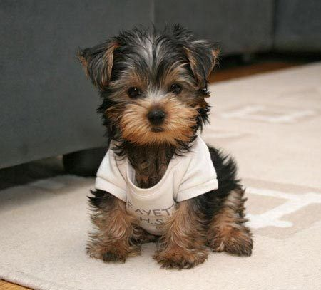 Presh / Yorkie puppy! I want one like now... Thanks on imgfave