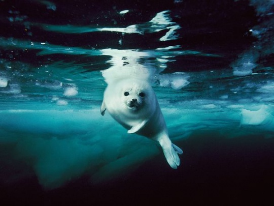 Harp Seal, Canada – Photograph by Brian Skerry - Positive Images - Gallery - AltEnergyShift