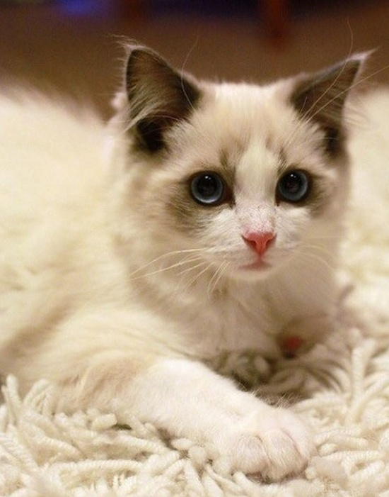 ~♥• Pets Palace •♥~ / Blue Eyes