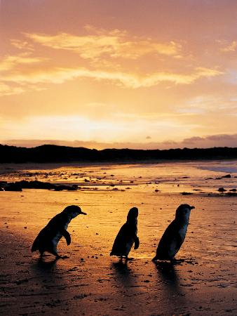 Penguin Parade Reviews - Cowes, Phillip Island Attractions - TripAdvisor