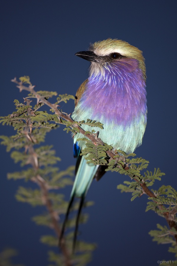 ~~ Lilac-breasted Roller ~~ | animals | Pinterest