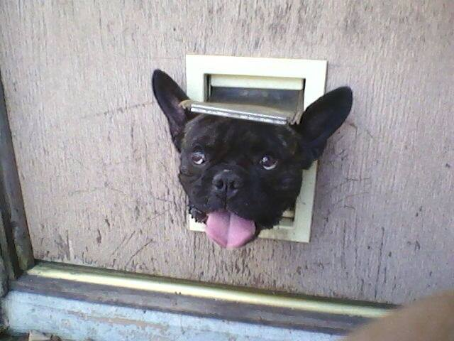 Batpig & Me Tumble It • Looks life this doggy door is NFB! (Not For...