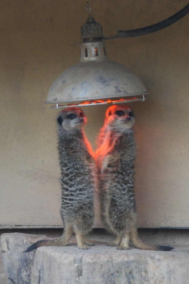 (Meerkats feeling the warmth)