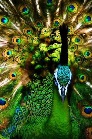 landscape,nature,and architecture / Peacock | See More Pictures | #SeeMorePictures