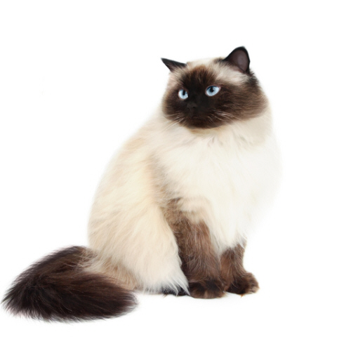 Image detail for -For a Cats: Cat Breeds - Himalayan Cat Beautiful Funny | Cat Foods ...