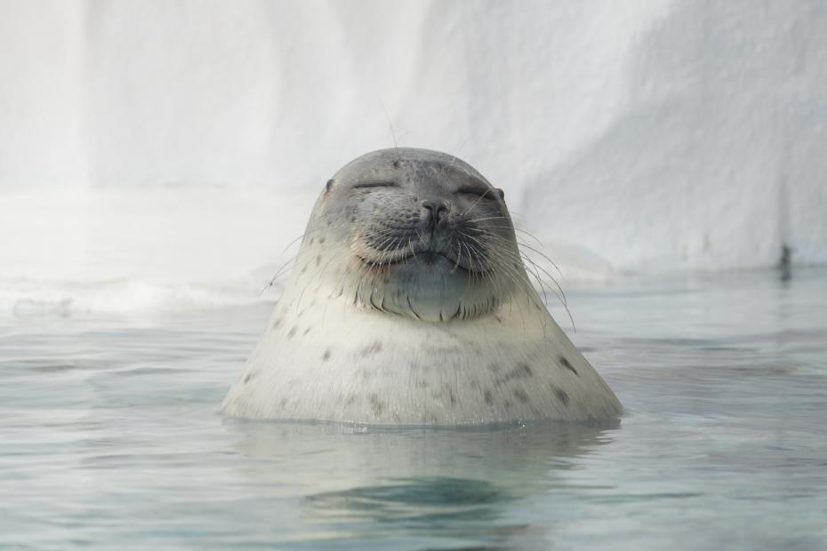 The feds propose biggest critical habitat ever for the ringed seal (but not because it's impossibly cute)