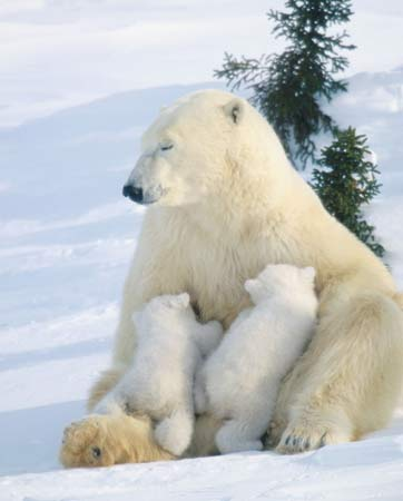 The Pale King in Exile: Polar Bears Dethroned? | Britannica Blog