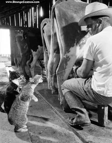 FARM CATS AND COWS MILK
