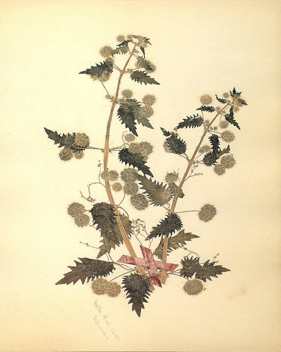 Antique Botanical Print Nettle and Ribbon by missquitecontrary