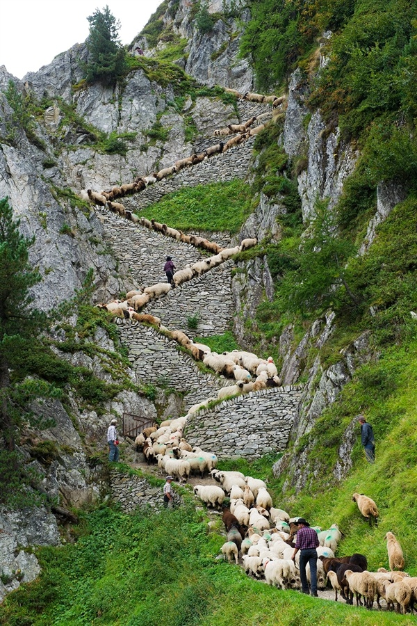 Sheep zig-zag up trail in Switzerland | Places I want to visit
