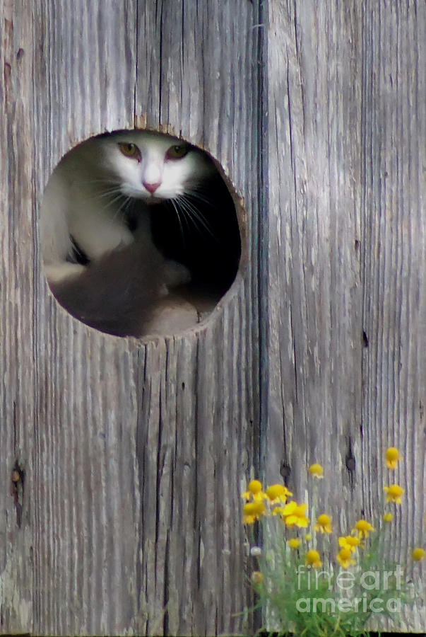 Barn Kitty Photograph by Benanne Stiens - Barn Kitty Fine Art Prints and Posters for Sale