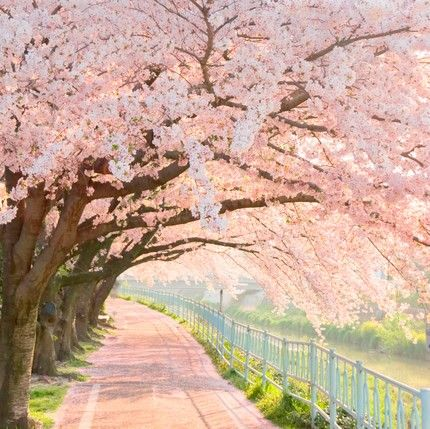 pink trees cherry blossom