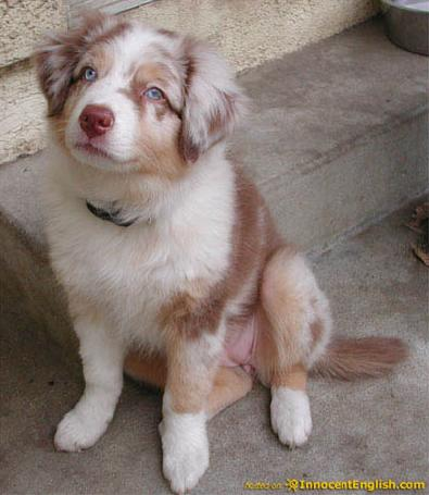 Red Australian Shepherd Pup Pictures, Images & Graphics