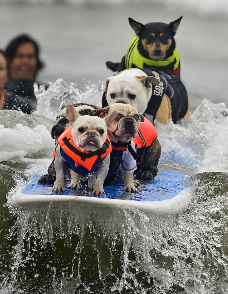 The Best Picture From The 2011 Surfing Dog Competition [PIC]