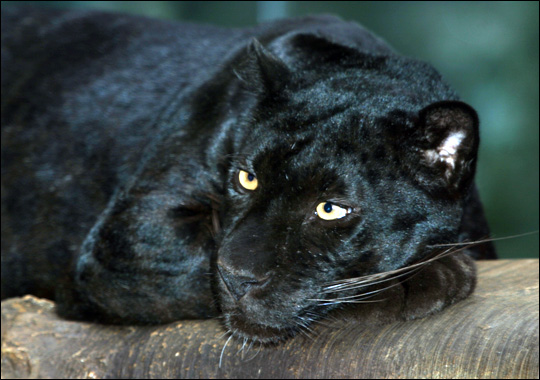 Google 画像検索結果: http://animal.discovery.com/guides/endangered/mammals/gallery/panther.jpg