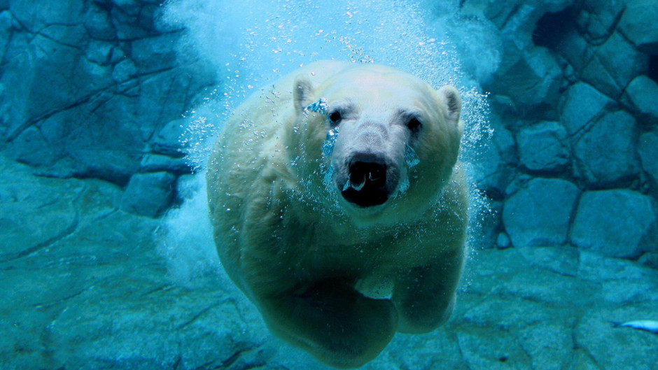 Polar Bear Underwater Wallpaper - Nature Wallpaper