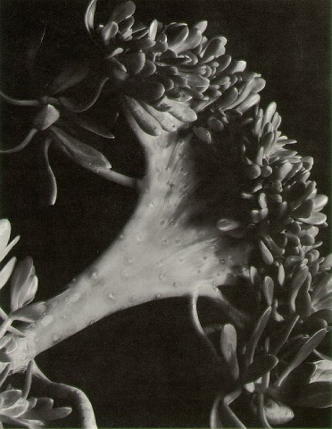 File:Succulent Imogen Cunningham 1920.jpg - Wikipedia, the free encyclopedia