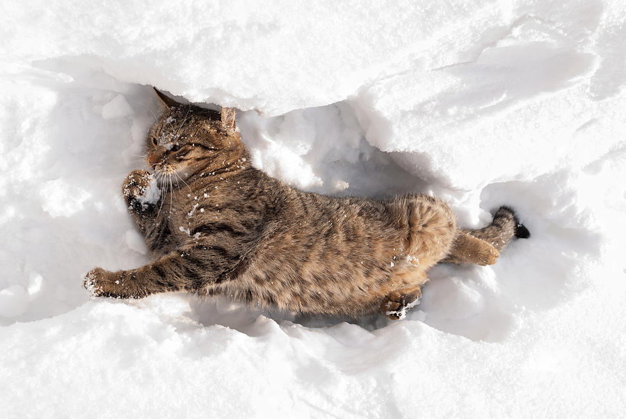Cat Playing in the Snow Photograph by Milica Ljevaja - Cat Playing in the Snow Fine Art Prints and Posters for Sale