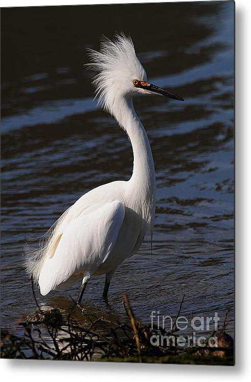 Snowy Egret . Bad Hair Day . Vertical Cut . 7d11892 Metal Print By Wingsdomain Art And Photography
