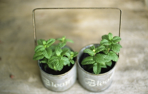 Pinterest / Search results for mint plants