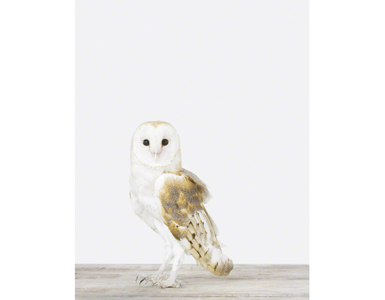 Owl - The Animal Print Shop - Sharon Montrose - Animal Photos - Wildlife Photography - Limited Edition Prints - Wall Decor -Gift Ideas - Unique Gifts - Modern Art - Affordable Art - Bird Pictures