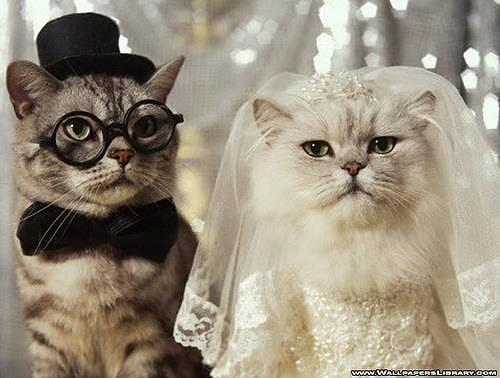 WEdding cat Photograph by Sunkies Fang - WEdding cat Fine Art Prints and Posters for Sale