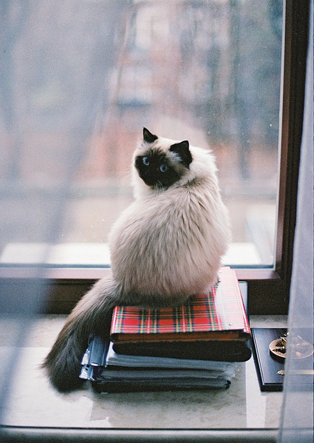 my cat Eve looks in the window in cold winter days | Flickr - Photo Sharing!