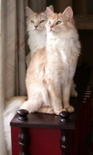 Pinterest / Search results for somali cat