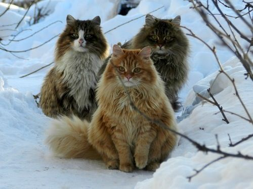 Norwegian Forest Cats | Critter Love | Pinterest