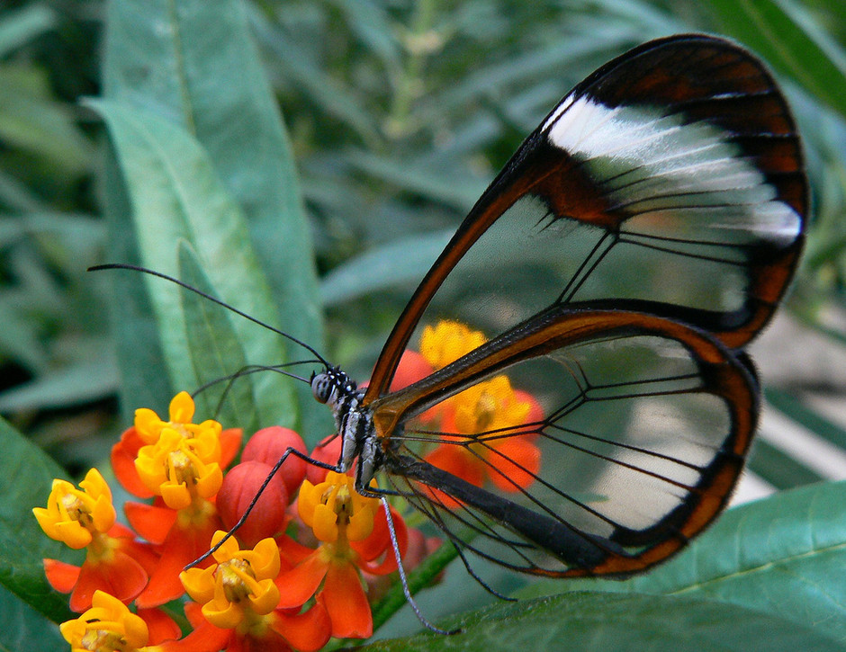 15 Stunning Photos of the Glasswinged Butterfly «TwistedSifter