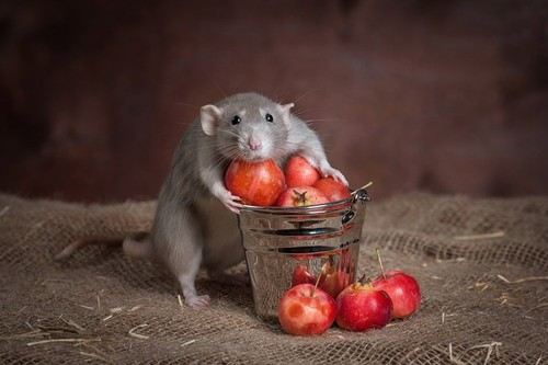 #cute #mouse #rat #tomatoes | We Heart It