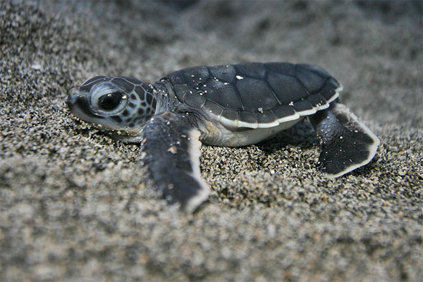 Baby Sea Turtle Pictures: Photos of Cute Animals, Young Sea Turtles | Teen.com