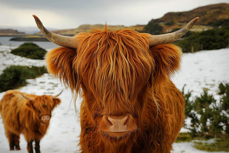 highland cattle from scotland photo