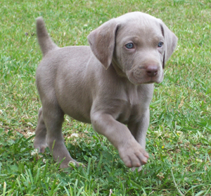 Weimaraner pictures, information, training, grooming and puppies.