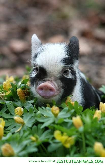 piglet, cute animals, pigs | critters | Pinterest