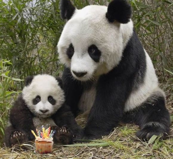 Happy Birthday Panda! | Cutest Paw