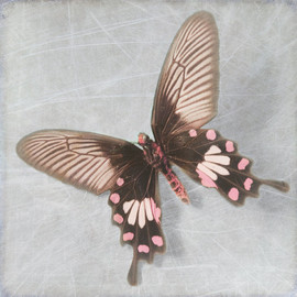 "Luulla - Pearl Butterfly 10"" by 10"" Photograph Art Print"