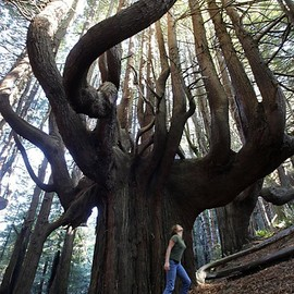 Shady Dell, California - 'Candelabra Redwoods'